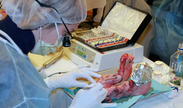 dental student performing hands-on exercise on pig jaw